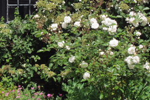 White roses in border